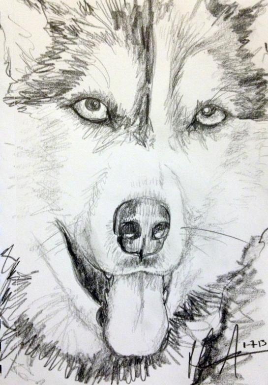 Sibeian husky pencil drawing